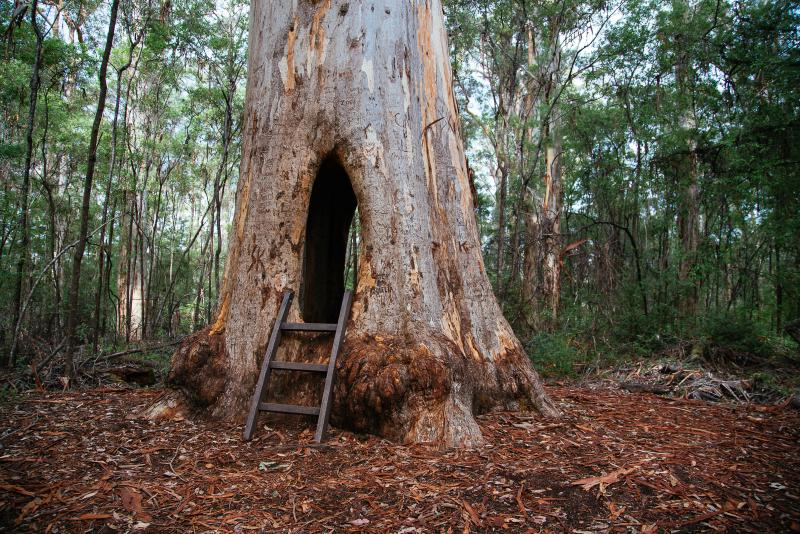 Walk Through Tree, Karri Valley